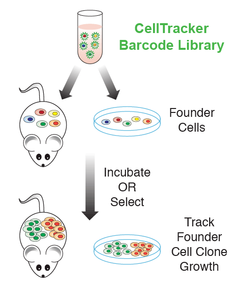 Track founder cell growth with Cellecta CloneTracker Barcode Library