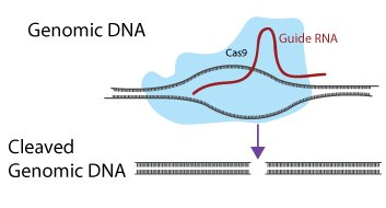 crispr-diagram-genomic-dna