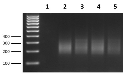 Gel Electrophoresis of Amplified Indexed Libraries. Gel image of amplicons after Index Primer PCR Reaction.